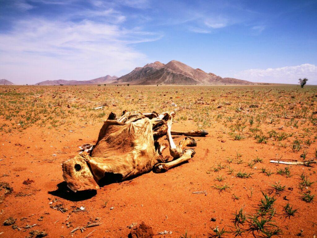 Niet iedereen overleeft de woestijn in Namibië