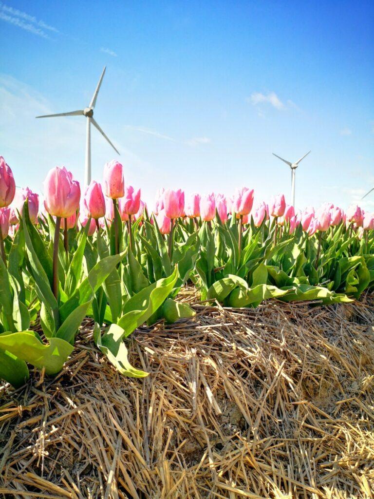 Tulpen Flevoland - Denken in Mogelijkheden