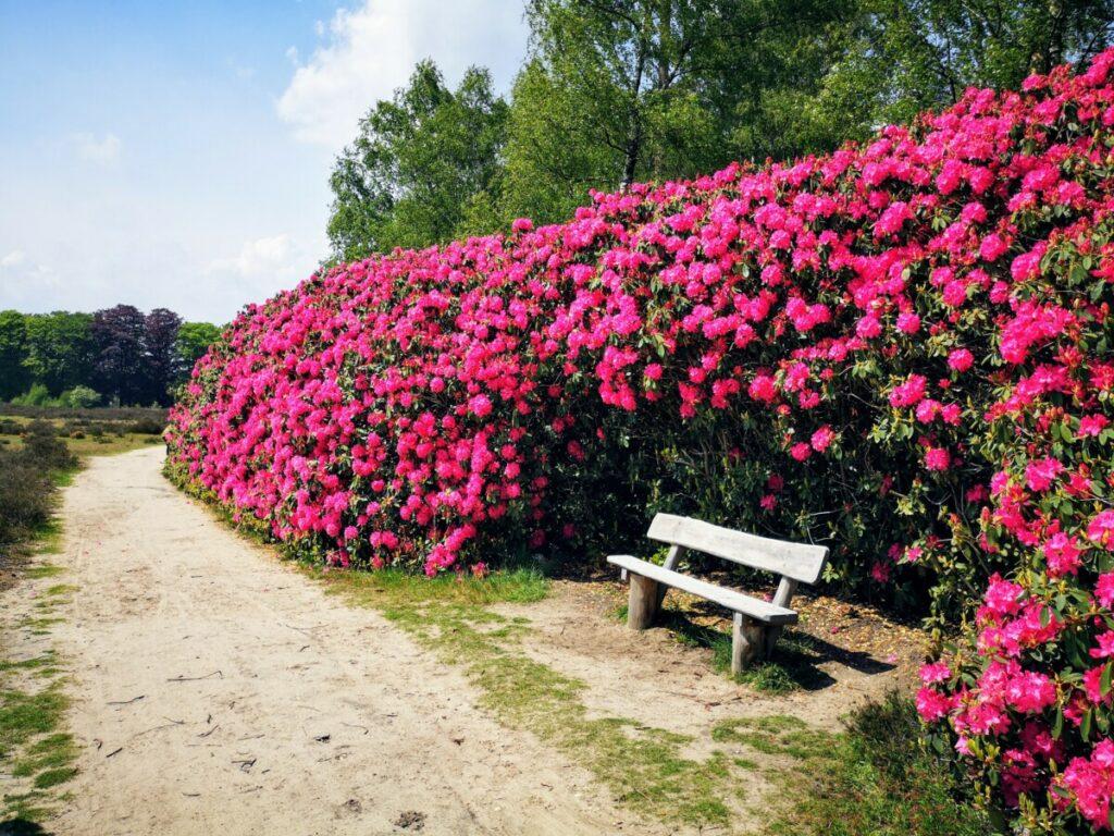 Rododendrons in de parktuin van Huis de Sprengenberg