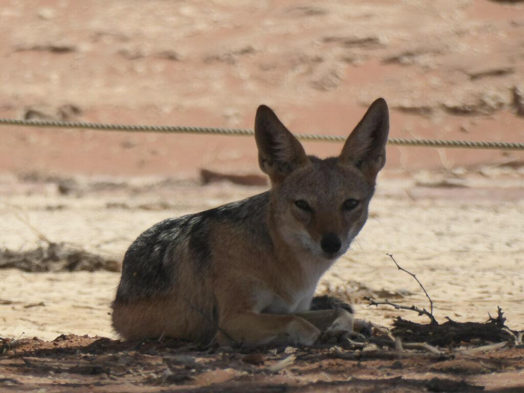 Jakhals in de Sossusvlei - Namibië