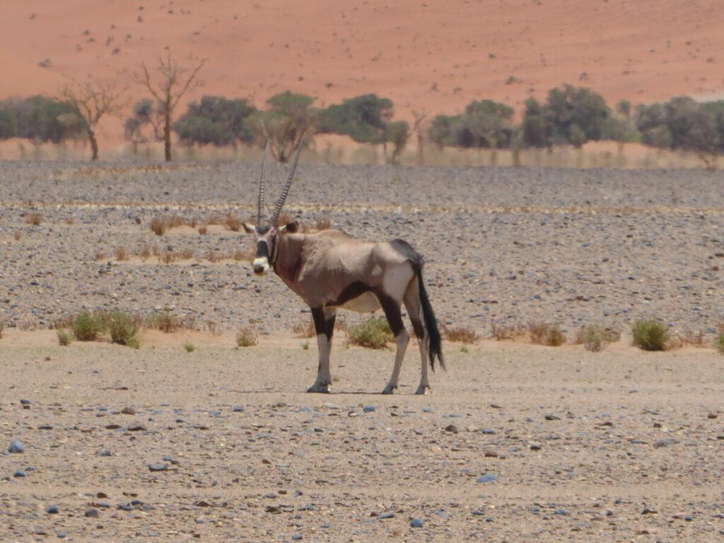 Oryx in de woestijn van Sesriem - Namibië